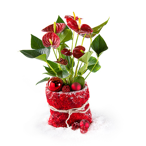 Red Christmas Anthurium